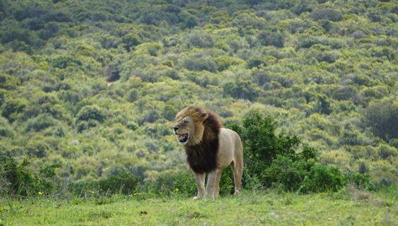 Stefanie Schulz aus Hamburg: Löwe im Addo Elephant Nationalpark in Südafrika.  © Stefanie Schulz